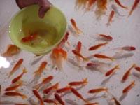 津田まつり 金魚すくいの写真