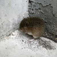 ネズミの写真