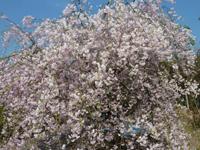 鶴亀公園 枝垂れ桜