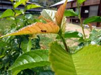 サクランボの木に登るアリ