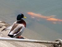 津田の松原サービスエリアのアヒルと鯉の写真