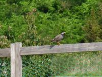 椋鳥(ムクドリ)の写真