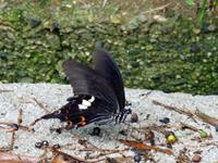 津田で見かける蝶々の写真