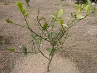 葉が落ちているレモンの写真
