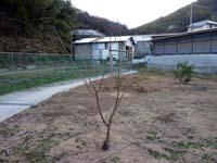 サクランボの木の剪定後の写真