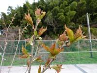 さくらんぼの葉っぱが開き始めた写真