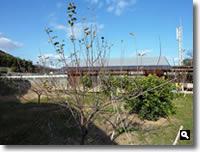 剪定前の林檎の木の写真