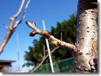 膨らみ始めた暖地桜桃の蕾の写真