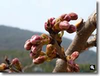 H23.3.16の暖地桜桃の写真