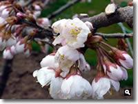 H23.3.21 暖地桜桃の花の写真1
