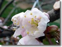 H23.3.21 暖地桜桃の花の写真2