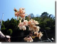 暖地桜桃の花(咲き終わり頃)の写真