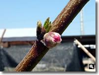 桃の蕾の写真