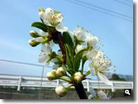 すももの花の写真