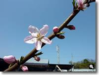 桃の花の写真