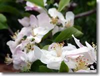 満開になったりんごの花の写真