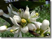 ライムの花の写真