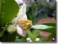 ザボン(文旦)の花の写真