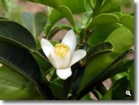 柚子の花の写真