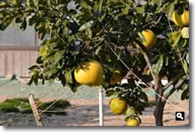 晩白柚の写真