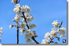 ほぼ満開になった暖地桜桃の写真