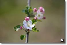 りんご(津軽)の花の写真