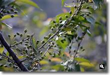 暖地桜桃の写真