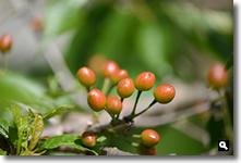 赤みを増してきた暖地桜桃の実の写真