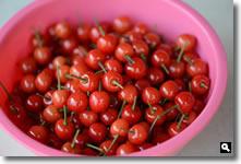 暖地桜桃収穫の写真②