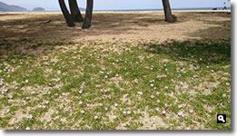 津田の松原のハマヒルガオの写真