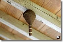 コガタスズメバチかもしくはトックリバチの巣の写真