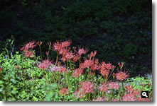 香川県さぬき市津田町鶴羽mitzの家に咲いた曼珠沙華の写真
