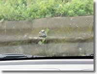mitzの車のフロントガラスのカエルの写真
