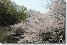 2014年4月10日さぬき市津田町鶴羽墓地公園の桜の写真