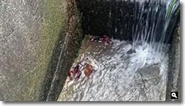 2014年8月11日さぬき市津田町鶴羽mitzの家の水路で発見したザリガニの写真