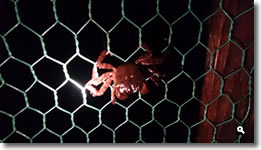 2014年10月13日台風19号通過に発見した蟹が金網に留まっとる写真