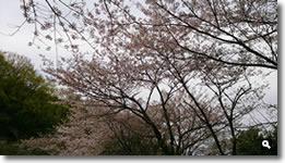 2015年4月9日香川県さぬき市津田町鶴羽の桜の写真