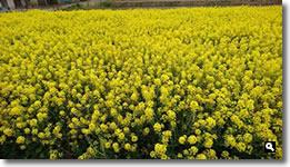 2017年3月23日 さぬき市津田町 JR鶴羽駅付近の菜の花の写真