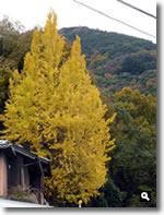 2017年11月27日 さぬき市津田町鶴羽相字のイチョウの写真