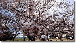 2018年3月30日 とらまる公園の桜の写真