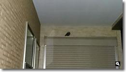 2018年9月15日 mitzの家のシャッターボックスを寝床にしている野鳥の写真