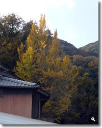 2018年11月30日 さぬき市津田町鶴羽相字のイチョウの写真