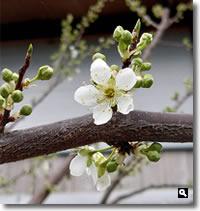 2020年3月11日 香川県さぬき市津田町鶴羽 mitzの家のすもも開花の写真