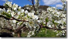 2020年3月20日 mitzの職場 すもも(貴陽)花 の写真