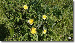 2020年3月24日 mitzの家で咲いたタンポポの花 の写真