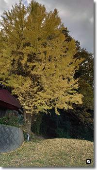 2020年11月23日 近所のイチョウの木の紅葉 の写真