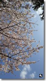 2021年4月2日 寝っ転がって見上げた桜の写真