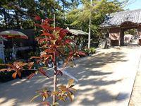 2019年5月11日(土)津田石清水神社春市で販売されていた苗木を購入!の写真
